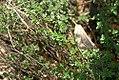 Thymus x citriodorus 1zz.jpg