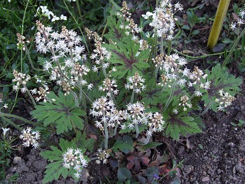 Tiarella 'Sea Foam' a1