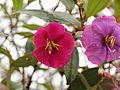 Tibouchina lepidota-IMG 8734.JPG