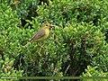 Tickell's Leaf Warbler (Phylloscopus affinis) (20612170311).jpg