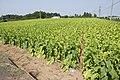 Tobacco field in Namegata, Ibaraki 02.jpg