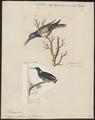 Topaza mellivora - 1700-1880 - Print - Iconographia Zoologica - Special Collections University of Amsterdam - UBA01 IZ19100253.tif