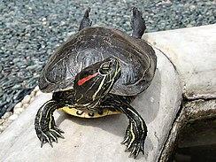 244px-Tortoise1 cepolina
