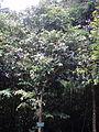 Trâm Bullock 4 - Syzygium bullockii.JPG