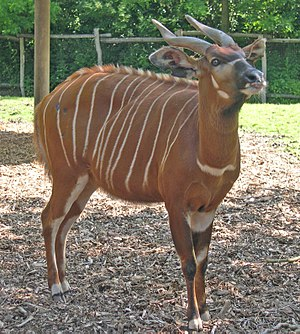 Bongo (antelope) - Image: Tragelaphus eurycerus