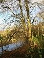 Tree beside the Teign - geograph.org.uk - 1050662.jpg