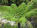 Tree fern - Cameron Highlands - Malaysia - panoramio.jpg