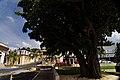 Tree in Yauco barrio-pueblo, Puerto Rico.jpg