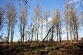 Trees near Norton - geograph.org.uk - 1596280.jpg