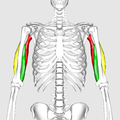 Triceps brachii muscle10.png