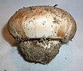 Tricholoma colossus 670823.jpg