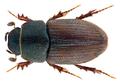 Trichonotulus scrofa (Fabricius 1787) Syn.- Aphodius (Trichonotulus) scrofa (Fabricius, 1787) (31007908762).png
