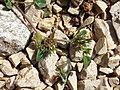 Trifolium scabrum sl3.jpg