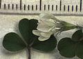Trifolium subterraneum (Merton Res.).jpg