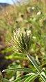 Trifolium thompsonii 4.jpg