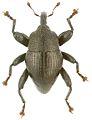 Trigonopterus nangiorum holotype - ZooKeys-280-001-g055.jpg