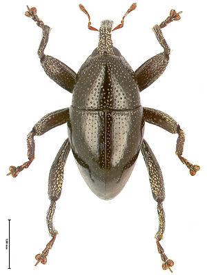 Trigonopterus - Trigonopterus vandekampi from New Guinea