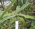 Triphyophyllum peltatum.jpg
