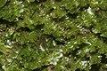 Tritomaria exsecta (a, 113252-471408) 6922.JPG