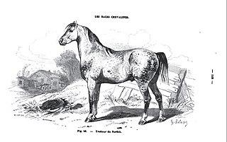 Norfolk Trotter