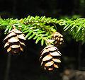 Tsuga canadensis cones USDA.jpg