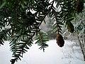 Tsuga canadensis foliage Chester NH.jpg