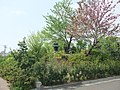 Tsukanoyama Tumulus (塚の山古墳) - panoramio.jpg
