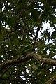 Tucaneta Verde, Emerald Toucanet, Aulacorhynchus prasinus (11916300884).jpg