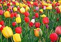 Tulpen bloemenveld langs N80 Gingelom - panoramio.jpg