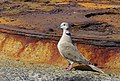Turkduva Eurasian Collared Dove (20162568920).jpg