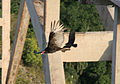 Turkey Vulture under the Bacunayagua bridge.jpg
