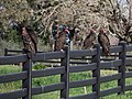 Turkey vultures (01721).jpg