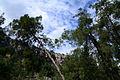 Turkish pine trees, Canyon Kapıkaya 03.jpg