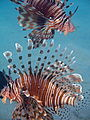 Two Common Lionfish ( Pterois miles), Gulf of Eilat, Israel..jpg