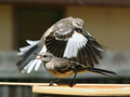Two Mockingbirds at Bath.png