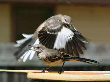 English: Two Northern Mockingbirds at a bird b...