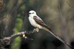 Scissor-tailed flycatcher - Image: Tyrannus forficatus on branch