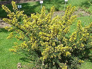 Ulex europaeus - Common gorse in flower