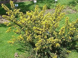Flora and fauna of Cornwall - Ulex europaeus (gorse)