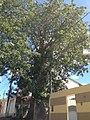 Um dos exemplares de Baobá em Itaberaba na Bahia.jpg
