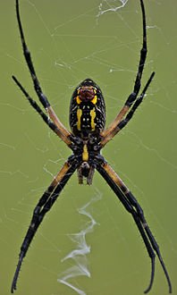 Black spider with yellow strip belly