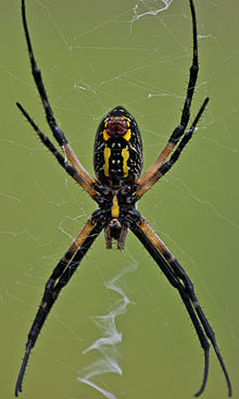 Argiope aurantia wikipedia for What does a garden spider look like