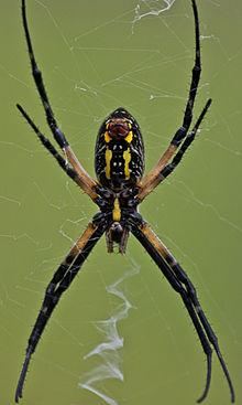 Argiope aurantia wikipedia for Yellow garden spider poisonous