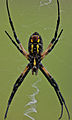 Underside of the argiope aurantia.jpg