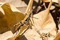 Unidentified brown grasshopper, Sambisari Temple Complex, Yogyakarta, 2014-09-28 07.jpg