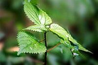 Urtica parviflora(10).jpg