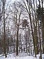 Včelní Hrádek, památný buk lesní červenolistý.jpg