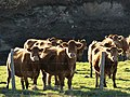 Vaches Viam Couignoux (2).jpg