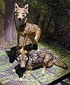 Valais Nature Museum - wolf.jpg