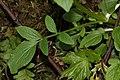 Valeriana sitchensis 2441.JPG